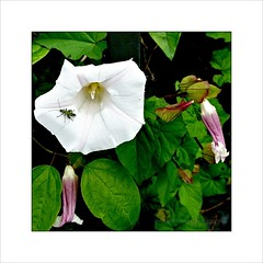 Bindweed and a Thick Legged Flower Beetle (Paul.Y-D) Tags: thick legged flower beetle thickleggedflowerbeetle street insect bindweed bug