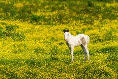 Baby foal in a buttercup field (technodean2000) Tags: uk horse baby white field yellow wales nikon buttercup south foal d610