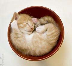 20110711_15777b (Fantasyfan.) Tags: sleeping red pet cute animal topv111 furry topv555 topv333 kitten fluffy tired terror topv777 paws kauhu fantasyfanin pawl highqualityanimals siirretty