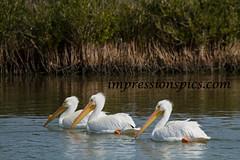 White Pelican Trio
