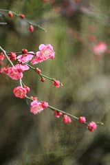 Pink plum blossoms (tanakawho) Tags: pink pl