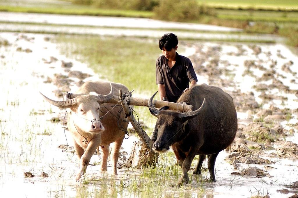 Paysan et buffles tirant une charrue Takeo-Prey Veng