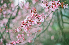 spring! (after october) Tags: pink film oregon spring branch bokeh blossoms grain plum pentaxk1000 pacificnorthwest blooms getit floweringplum unheardof happyfirstdayofspring threefilmimagesinarowonmyflickrstream ithinkthisisfujisuperia400 ormaybeits200 ifeellikeimbecomingaonetrickponywiththeseblossomshots illtrytobranchoutfortodays365 hasorry