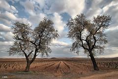 Vigilantes (Josepargil) Tags: árboles cielo nubes larioja viñedo josepargil