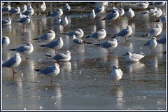 SEAGULL ICE LAKE (henrhyde (gill)) Tags: winter seagulls lake ice rest