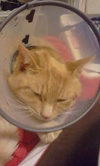 Sunrise Kitty Sleeping In His Protective Cone (Crystal Writer) Tags: cat kitty kittycat feline americanshorthair infection healing sores bacteria yeast photo image cellphone samsungepic pic phonepic crystalwriter crystal writer androidphotography cameraphone cellphoneimage cellphonepicture original picture photograph crystalamurray crystalmurray christianwriter
