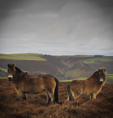 Exmoor Poneys (GarethThomasJones) Tags: camera horses birds animals photoshop canon photography landscapes valley pro pointandshoot creatures dartmoor gtj compact exmoor lightroom poneys doone garethjones sd780 exmoorcoastline canonsd780 ixus100is lightroom4 garethjonesphotographyportsmouth garethjonesportsmouth gareththomasjones