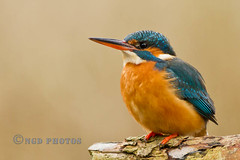 Kingfisher (Nigel Dell) Tags: winter birds flickr wildlife kingfisher avianexcellence birdperfect ngdphotos