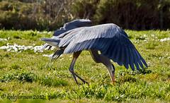 Great Blue dining out (katejbrown photography) Tags: sanfrancisco heron birds feeding wildlife presidio greatblue crissymarsh