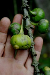 Ficus L.