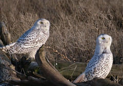Snowies at Sunset (Ingrid Taylar) Tags: winter sunset two canada britishcolumbia wildlife pair baldeagle delta olympus driftwood perched e3 february 70300mm zuiko eagles ladner owls 2012 nycteascandiaca snowyowls