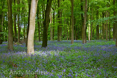 Bluebells of Micheldever (Andy Morffew) Tags: bluebells spring hampshire micheldever andymorffew morffew