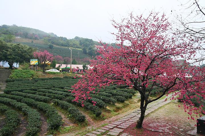 玉蘭茶園櫻花0014