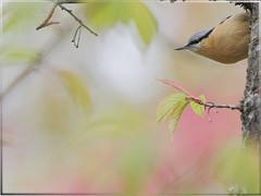 Eurasian Nuthatch ~~ (jjcat) Tags: birds canon taiwan 300mm 7d f28 eurasiannuthatch