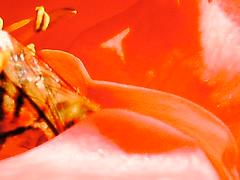 PTDC0100 (Maggie Mbroh, joeyjorie) Tags: flowers roses flower petals bees petal pollen signsofspring signofspring beesandpollen beesandroses rosesandbees antiquarose luckyladyrose nightanddayrose greatshowrose beeandroses