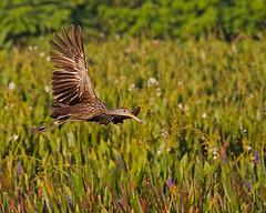 Limpkin IF (DMF Photography) Tags: nature birds inflight florida wildlife wetlands if boyntonbeach southflorida wadingbirds greencay greencaywetlands flightshotslimpkin