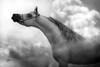 Arabian Horses (HANI AL MAWASH) Tags: art animal photo al kuwait hani صور artphoto صوره الكويت فن كويت هاني animalkingdomelite mywinners فوتو aplusphoto kuwaitphoto ارت المواش almawash almwash kuwaitartphoto kuwaitart ارتفوتو mawash