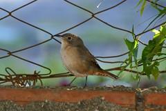 Corrura (Troglodytes musculus) (Christian Beier) Tags: aves troglodytes rs passeriformes panambi troglodytidae corrura troglodytesmusculus southernhousewren