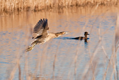 Bittern in Flight (Duncan Eames) Tags: uk bird london interesting ngc explore top20nature 2012 bittern lwc avianexcellence