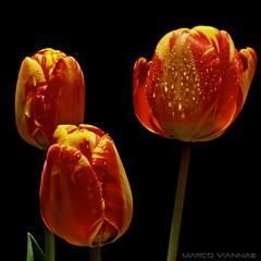 Los Tulipanes (m@tr) Tags: barcelona flowers espaa flores canon tulips tulipas catalunya tulipanes ripollet canonef50mmf18ii canoneos400ddigital lostulipanes mtr marcovianna