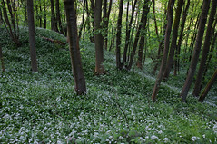 Tom Wood (Greg.w2) Tags: wood uk flowers trees wild england english tom countryside fuji derbyshire may finepix elder garlic greenery 2011 x100 ransoms 23mm
