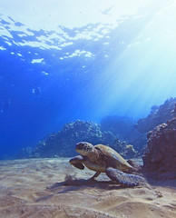 view from the bottom (bluewavechris) Tags: ocean life blue sea brown green tourism nature water animal coral swim canon hawaii sand marine underwater tour snorkel turtle reptile wildlife dive scenic shell maui tourist guide reef creature flipper 1022 seasea t1i