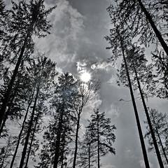 Trees (Joerg Marx) Tags: trees sun backlight forest sonne wald bume gegenlicht