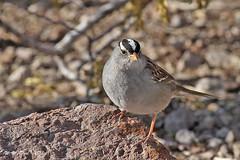 White-Crowned Sparrow (Bill D114) Tags: ngc blinkagain bestofblinkwinners highqualityanimals
