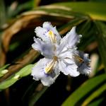 #1488 crested/fringed iris (シャガ・コチョウカ) thumbnail