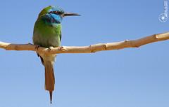 Bee Eater (Faisal Alzeer) Tags: bird birds photography nikon nikkor faisal        nikkor300mm       fnz   d300s     alzeer d300d abonasser