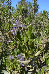 The most fragrant smelling species of Yerba Santa that I have ever smelled. (theforestprimeval) Tags: san pedro martir
