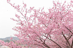 _DSC6581 (rio_tc) Tags: japan tokyo nikon cherryblossom tamron shizuoka plumblossom  d7000 18270mm