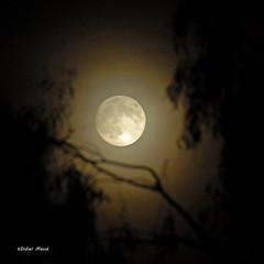 Pleine lune,  travers le feuillage d'eucalyptus (didier95) Tags: lune ciel nuit pleinelune fabuleuse