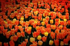 Tulipmania (Pillars of Creation Photography) Tags: orange field yellow gardens tulips longwood