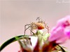 IMG_1955 (Tony Borrach) Tags: pink brazil macro up closeup brasil riodejaneiro spider close rosa brasilien makro brasile sul sudamerica aranha americadosul araigné aracnídeos sudamérica südamerika photoscape itaguaí tonyborrach sudamerique canonpowershota590is mygearandme flickrhivemindgroup