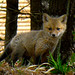 One of a litter of five fox kits near Loon Lake in Chestertown. Photo: Caroline Kelly.