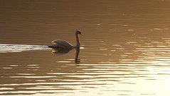 Abendstimmung (Claude@Munich) Tags: lake bird water sepia germany bayern bavaria see evening swan wasser natural oberbayern upperbavaria schwan muteswan cygnusolor kochelsee kochel abendstimmung abends naturalsepia höckerschwan claudemunich