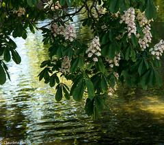Le chant des reflets (Claudine Booth) Tags: la reflets printemps morges marronnier