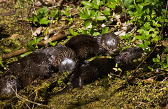 Otter Family Fun (ac4photos.) Tags: nature animal babies florida wildlife mother otter wetlands everglades marsh loxahatchee otterfamily