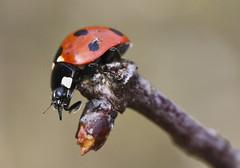7 Spot Ladybird (Prank F) Tags: twywellhillsdales wildlifetrust northantsuk insect macro closeup ladybird ladybug beetle nature wildlife 7spot coccinella7punctata