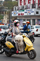 (seua_yai) Tags: street people dog fashion shopping women asia southeastasia candid scooter vietnam motorbike motorcycle shaggy hanoi piaggio oldquarter shaggydog vietnamesewomen vietnamesegirl vietnamesepeople vietnameselady