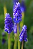 Muscari (peterabrown) Tags: mimamorflowers 100commentgroup 100commentsgroup