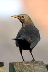 DSC_7472 Blackbird (PeaTJay) Tags: blackbird gardenbirds carlsbirdclub