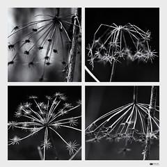 Evanescence   My Immortal [Explore 2012-04-22, Frontpage] (Daniel Wildi Photography) Tags: nature monochrome switzerland withered evanescence 2012 myimmortal rubigen cantonofbern schwandwald danielwildiphotography