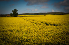 Rape Fields (Yvette-) Tags:
