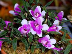 dendrobium cuthbertsonii (Eerika Schulz) Tags: dendrobium cuthbertsonii eerika schulz