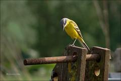 L'attentive... (Journ'obs...) Tags: ardennes avril printemps oiseau verger 2014 bergeronnetteprintanière auchamppommier