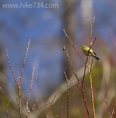 "Orange-crowned Warbler • <a style=""font-size:0.8em;"" href=""http://www.flickr.com/photos/63501323@N07/13894899307/"" target=""_blank"">View on Flickr</a>"