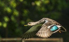Flight! (shivaangsharma1408) Tags: india color male bird nature beauty animal fly duck wings flight feather land mallard common animalplanet pune