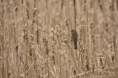 Ease in the Reeds (Ben Roffelsen Photography) Tags: toronto bird reeds northern thrush blogto waterthrush torontoist